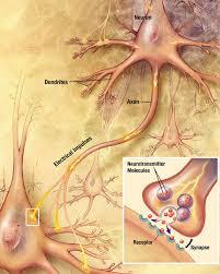 İki nöron arasında sinaps oluşumu